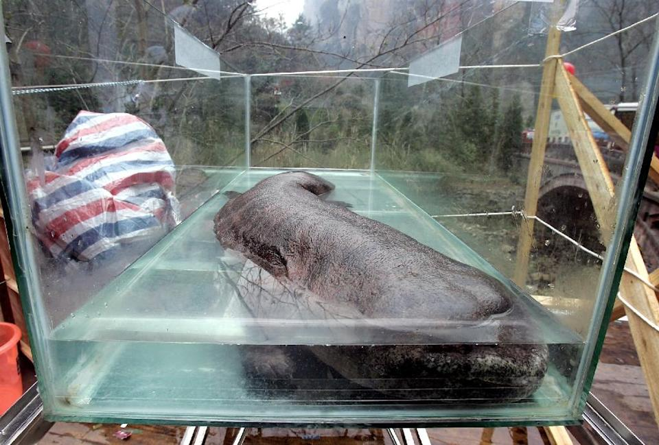 The Chinese giant salamander is the world's largest amphibian, capable of growing to 1.8 metres long (AFP Photo/)