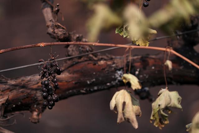 <p>Grapes hang from a burned grave vine on Oct. 10, 2017 in Glen Ellen, Calif. (Photo: Justin Sullivan/Getty Images) </p>