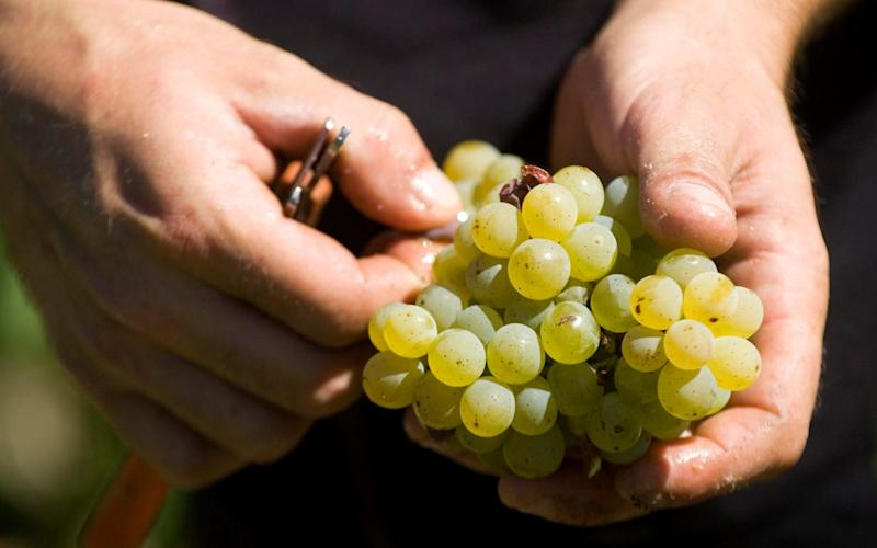 A picker holds white grapes at the Chateau Haut Brion vineyard in France's Bordeaux region in Pessac - Credit: OLIVIER PON/Reuters
