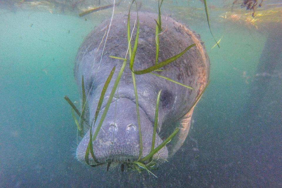 A manatee swims beside a tour boat in the Crystal River Preserve State Park on Jan. 7, 2020, in Crystal River, Florida. Hundreds of manatees head to the Crystal River bays in winter to escape the colder temperatures throughout the Gulf of Mexico. (Photo: Photo by Paul Rovere/Getty Images)