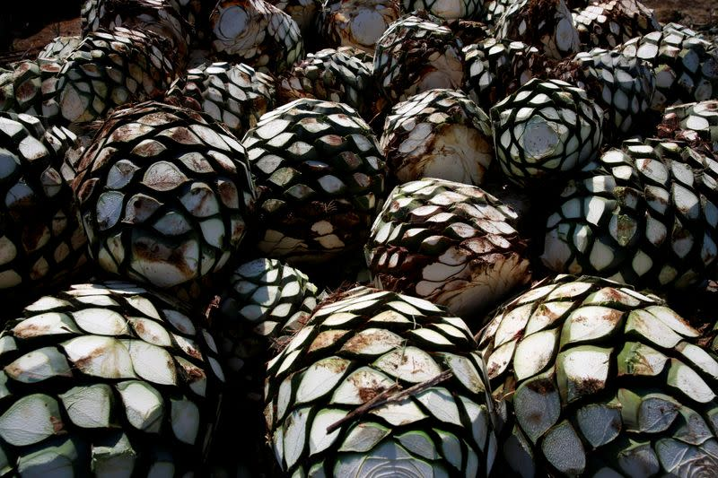 FILE PHOTO: Blue agave hearts are pictured on top of a truck on the outskirts of Tequila