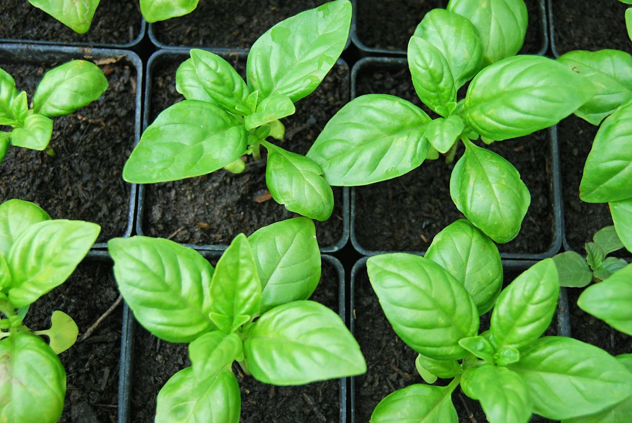 <p>Basil is so effective at repelling mosquitoes (and adding a delicious flavor to Italian fare!) that you'll want to grow it all around your house. Windowsills, porches, the garden - the possibilities are endless! Throw it in a cute pot next to your kitchen sink or on your porch and watch the magic happen.</p>
