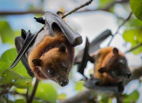 "<span class=""caption"">Old World fruit bats.</span> <span class=""attribution""><a class=""link rapid-noclick-resp"" href=""https://www.shutterstock.com/download/confirm/719503324?src=Nkh3v5EyNrOMJlREQlmMsA-1-0&size=medium_jpg"" rel=""nofollow noopener"" target=""_blank"" data-ylk=""slk:Jeffrey Paul Wade/Shutterstock"">Jeffrey Paul Wade/Shutterstock</a></span>"