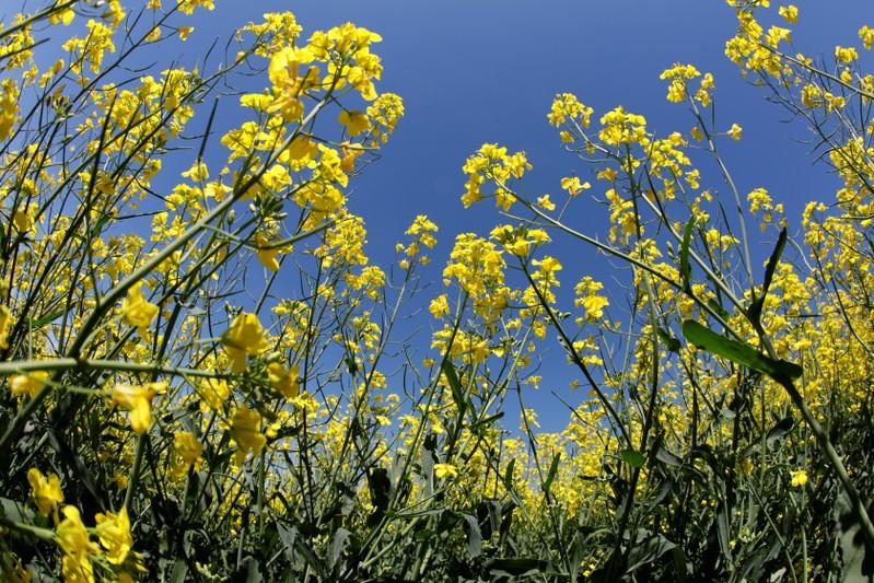 Millions of acres of Canadian canola freeze, compounding 'harvest from hell'