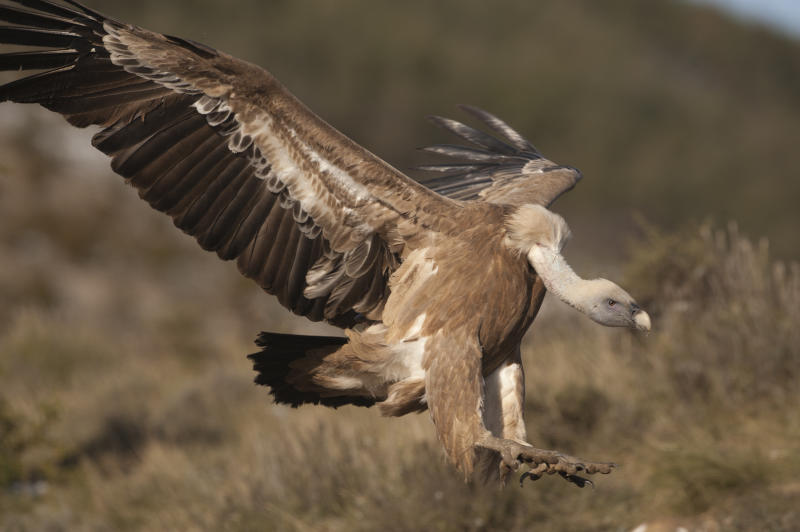 Griffon Vulture, Gyps fulvus, Catalonia Spain, winter. (Photo by: Education Images/Universal Images Group via Getty Images)