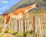 "For years I have been chasing this photo of a guanaco jumping a fence. Finally got in in January 2013. What is peculiar is that these animals just come to the fence, stop and spring over it. You would expect them to run as a horse does to jump over an obstacle. Photo taken in Torres del Paine, Chile. (Photo and caption Courtesy Jose Hernandez / National Geographic Your Shot) <br> <br> <a href=""http://ngm.nationalgeographic.com/your-shot/weekly-wrapper"" rel=""nofollow noopener"" target=""_blank"" data-ylk=""slk:Click here"" class=""link rapid-noclick-resp"">Click here</a> for more photos from National Geographic Your Shot."