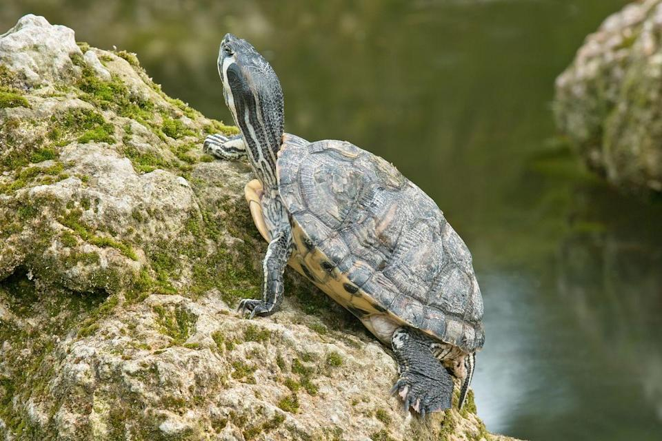 "<p>The <a href=""https://www.tortoise.com/"" rel=""nofollow noopener"" target=""_blank"" data-ylk=""slk:American Tortoise Rescue"" class=""link rapid-noclick-resp"">American Tortoise Rescue</a> explains ""When water turtles hibernate under water for months, they breathe through their butts.""</p>"