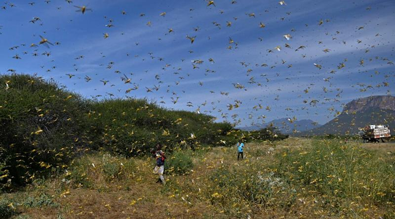 Locust Swarms Have Invaded  Rajasthan, Punjab, Haryana & MP; States Adopting Various Measures to Combat Invasion, Says Environment Ministry