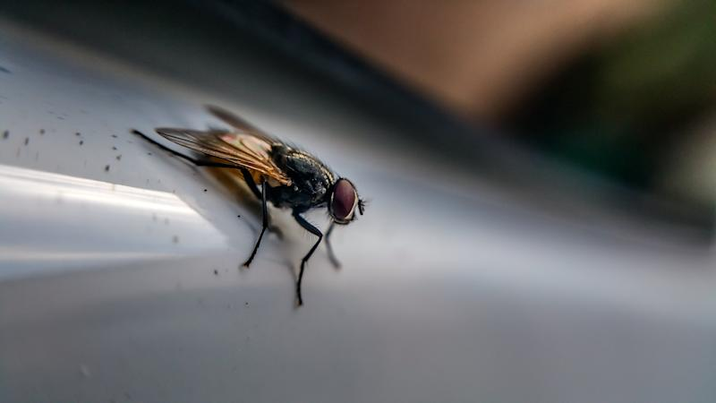 Houseflies Carry Hundreds of Harmful Bacteria That Spread Diseases, Reveals Study
