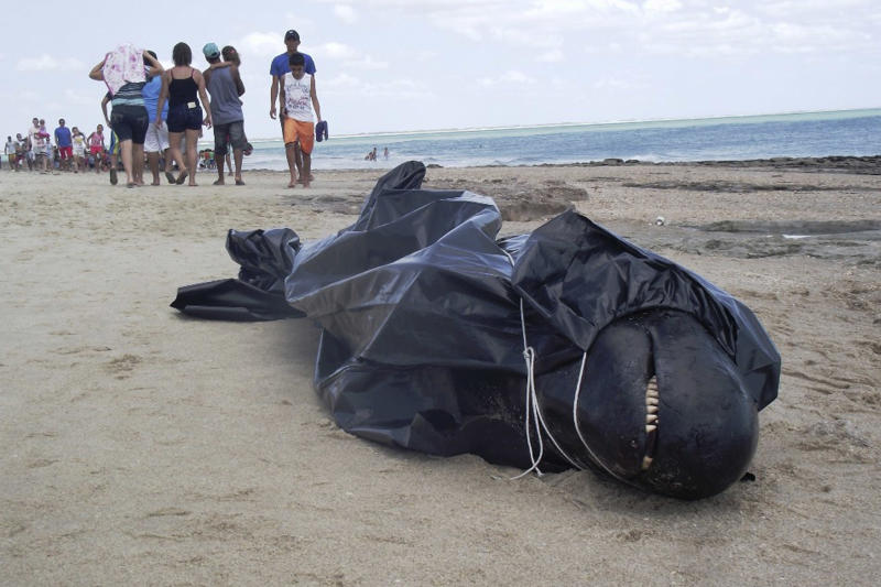 In this photo released by the Voz de Areia Branca, a community news blog, a dead dolphin lays wrapped in a bag on Upanema beach in the Areia Branca municipality of Rio Grande do Norte state, Brazil, Sunday, Sept. 22, 2013. Around 30 large dolphins known as false killer whales beached themselves in northeastern Brazil. (AP Photo/Carlos Junior, Voz de Areia Branca)
