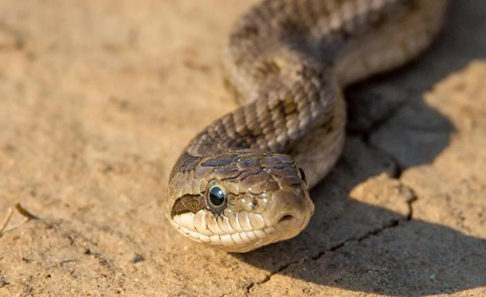 , Nearly 100 rattlesnakes removed from underneath California home, The Evepost National News