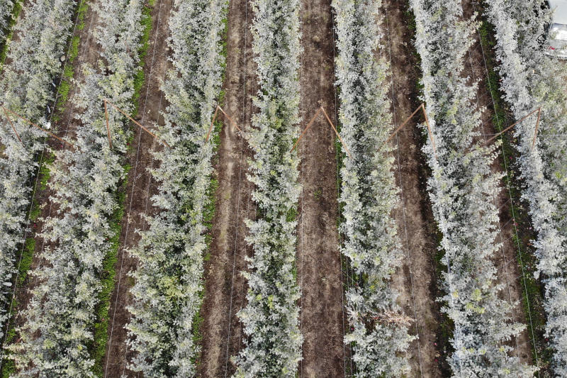In this photo taken Tuesday, Oct. 15, 2019, rows of Cosmic Crisp apple trees, a new variety and the first-ever bred in Washington state, are seen from overhead as they grow on trellises in an orchard in Wapato, Wash. The trellis system promotes high yields of fruit and reduces the labor needed to pick the apples. The grayish coating on some of the trees is from kaolin clay, used to protest the fruit from sunburn. The Cosmic Crisp apples will be available to consumers for the first time beginning Dec. 1. (AP Photo/Elaine Thompson)