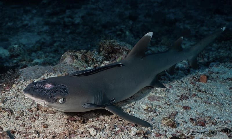 Underwater photographer and naturalist Jason Isley said that white patches first appeared on the sharks' heads last year, with a marked deterioration in the past few months. — Pictures courtesy of Jason Isley