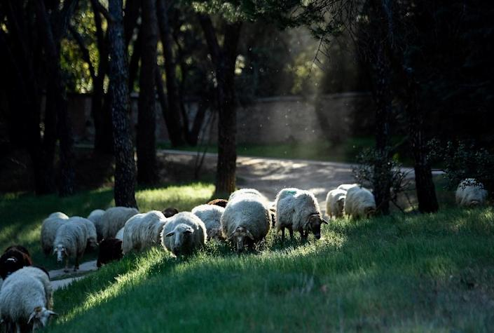 """People can """"sponsor"""" one of the sheep by paying 30-90 euros ($34-$100) a year to help support the project (AFP Photo/OSCAR DEL POZO)"""