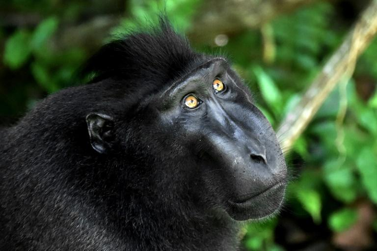 The crested black macaque shot to fame when one of the monkeys snapped grinning selfies and became embroiled in a US court battle