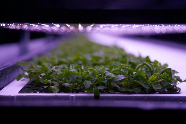 From floor to ceiling, produce grows in layered racks at the vertical farm opened by Nordic Harvest in a massive warehouse in a Copenhagen industrial zone