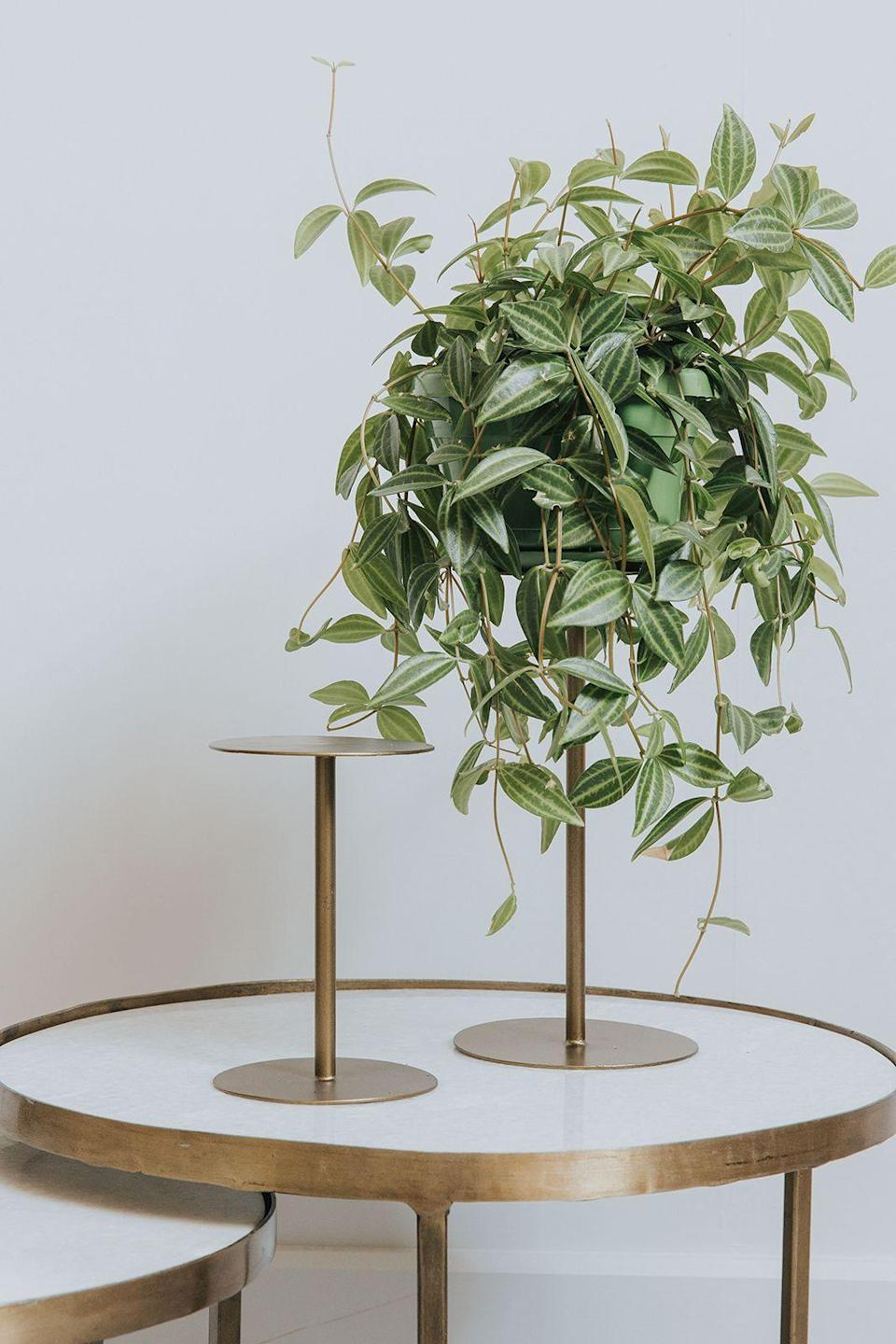 """<p><strong>Stand tall</strong></p><p>Elevate your prized plants with the help of a brass plant stand or two. More than just a pretty thing, they'll keep foliage happy and healthy as well as create visual interest by using them to add height to your display.</p><p>From £9.50, <a href=""""http://www.roseandgrey.co.uk/brass-plant-stand-small"""" rel=""""nofollow noopener"""" target=""""_blank"""" data-ylk=""""slk:roseandgrey.co.uk"""" class=""""link rapid-noclick-resp"""">roseandgrey.co.uk</a></p>"""