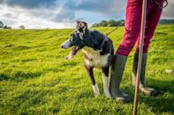 "<p>For dogs, nothing is more freeing than <a href=""https://www.marthastewart.com/7795315/how-landscape-dog-friendly-garden"" rel=""nofollow noopener"" target=""_blank"" data-ylk=""slk:having a huge backyard"" class=""link rapid-noclick-resp"">having a huge backyard</a> to run around in—and this is especially true for those that we would categorize as working dogs. ""Working breeds make wonderful companions, and thrive with space to run and stretch out,"" says Gina DiNardo, executive secretary of the <a href=""https://www.akc.org/"" rel=""nofollow noopener"" target=""_blank"" data-ylk=""slk:American Kennel Club"" class=""link rapid-noclick-resp"">American Kennel Club</a>.</p> <p>If you have several acres or run a farm, then a working dog breed might make <a href=""https://www.marthastewart.com/7690885/dog-breeds-by-personality-type"" rel=""nofollow noopener"" target=""_blank"" data-ylk=""slk:an ideal companion for you"" class=""link rapid-noclick-resp"">an ideal companion for you</a>. Why? ""They were <a href=""https://www.marthastewart.com/7845236/therapy-dog-training-and-certification"" rel=""nofollow noopener"" target=""_blank"" data-ylk=""slk:bred to assist people with jobs"" class=""link rapid-noclick-resp"">bred to assist people with jobs</a> such as guarding property, pulling sleds, and performing water rescues,"" explains DiNardo. ""These dogs are large and naturally protective."" Larger-size, energetic dogs such as the Mastiff, Newfoundland, Great Pyrenees, and the like are happiest when given a job to do. You will want to make sure to <a href=""https://www.marthastewart.com/1538491/how-stop-your-dog-digging-under-fence"" rel=""nofollow noopener"" target=""_blank"" data-ylk=""slk:have a fence around your property"" class=""link rapid-noclick-resp"">have a fence around your property</a> as well—this will ensure that your exuberant dog stays within the confines of its home. ""It is a beautiful thing to watch a strong, agile working dog gallop over a large open space,"" DiNardo says. ""Large outdoor spaces allow large dogs ample room to run as fast as they can for as long as they want.""</p> <p>That's why a smaller space—a <a href=""https://www.marthastewart.com/2139572/best-dog-breeds-for-apartments"" rel=""nofollow noopener"" target=""_blank"" data-ylk=""slk:city apartment or a lack of yard space"" class=""link rapid-noclick-resp"">city apartment or a lack of yard space</a>—would not do well for them and <a href=""https://www.marthastewart.com/7839730/how-stop-dog-from-chewing"" rel=""nofollow noopener"" target=""_blank"" data-ylk=""slk:may even lead to destructive behaviors"" class=""link rapid-noclick-resp"">may even lead to destructive behaviors</a>. As with all adoptions, it's best to <a href=""https://www.marthastewart.com/7690885/dog-breeds-by-personality-type"" rel=""nofollow noopener"" target=""_blank"" data-ylk=""slk:match your dog to your lifestyle"" class=""link rapid-noclick-resp"">match your dog to your lifestyle</a> and vice-versa. ""While working breeds make great companions for a variety of people, the AKC always encourages prospective dog owners to do their research to make sure they find the right breed for their lifestyle,"" advises DiNardo.</p> <p>If you're looking to adopt a dog with a strong work ethic and a heart of gold, we suggest one of the following breeds or breed mixes.</p>"