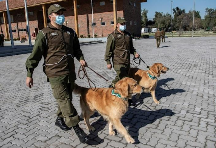 Members of the Chilean Police Canine Training team walk two golden retrievers before the beginning of their training session aimed at teaching the dogs to detect people infected with coronavirus (AFP Photo/MARTIN BERNETTI)