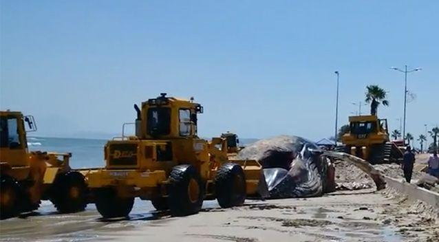 Three front-end loaders and a bulldozer were brought in for the grizzly job. Photo: Screenshot