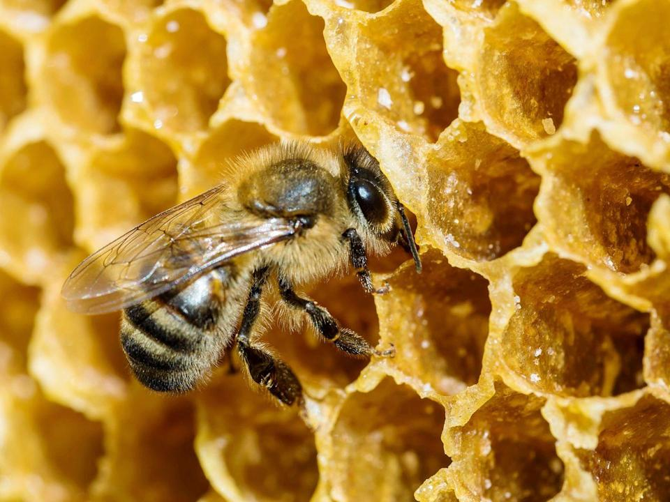 <p><strong>Honey Bee </strong></p><p>Vermont picked the two most popular bugs as their faves, the honey bee is the official state insect and the monarch is their state butterfly. <br></p>