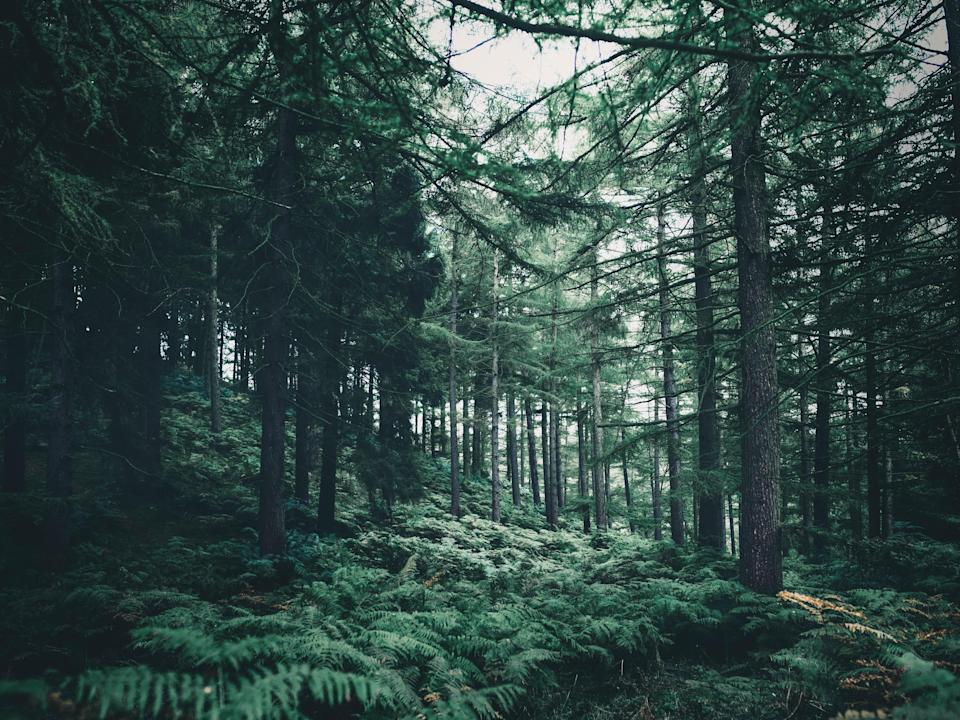 A forest with ferns and tall pine trees