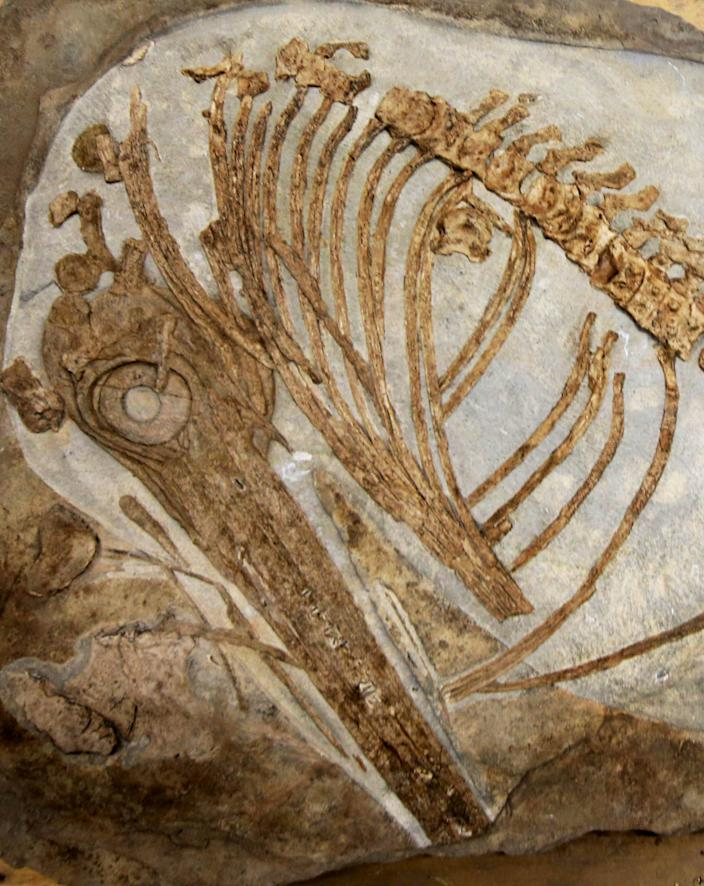 The fossil was buried by his Victorian ancestors in the garden at his family's home in Somerset (SWNS)