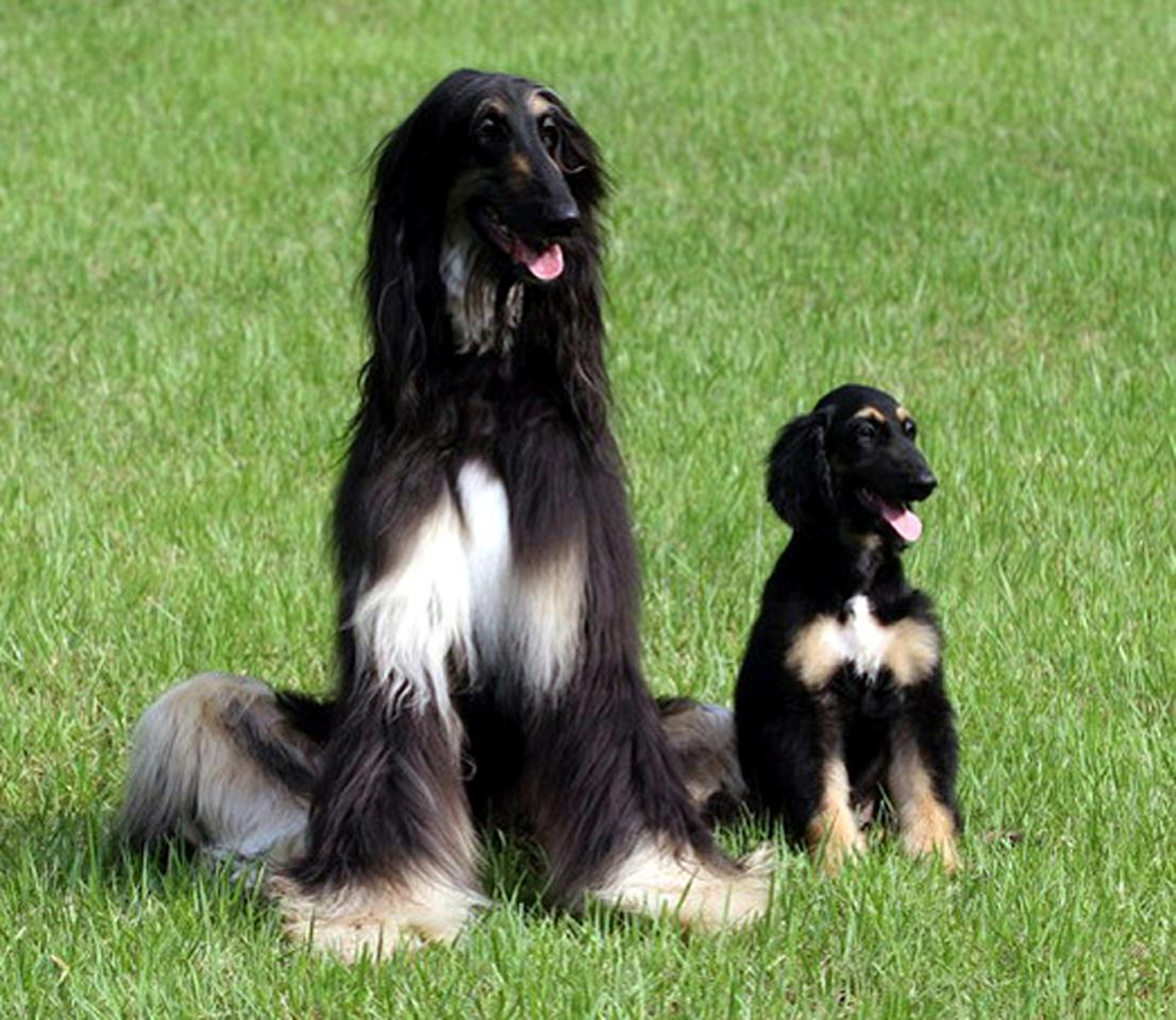 Snuppy (R), the first male dog cloned from adult cells by somatic nuclear cell transfer, and a male Afghan hound from which an adult skin cell was taken to clone Snuppy, are seen in this handout photo released in Seoul, August 3, 2005. Man's best friend joined the list of cloned animals as South Korean scientists led [by Dr. Woo-Suk Hwang] announced on Wednesday they had created the world's first cloned dog from an Afghan hound.