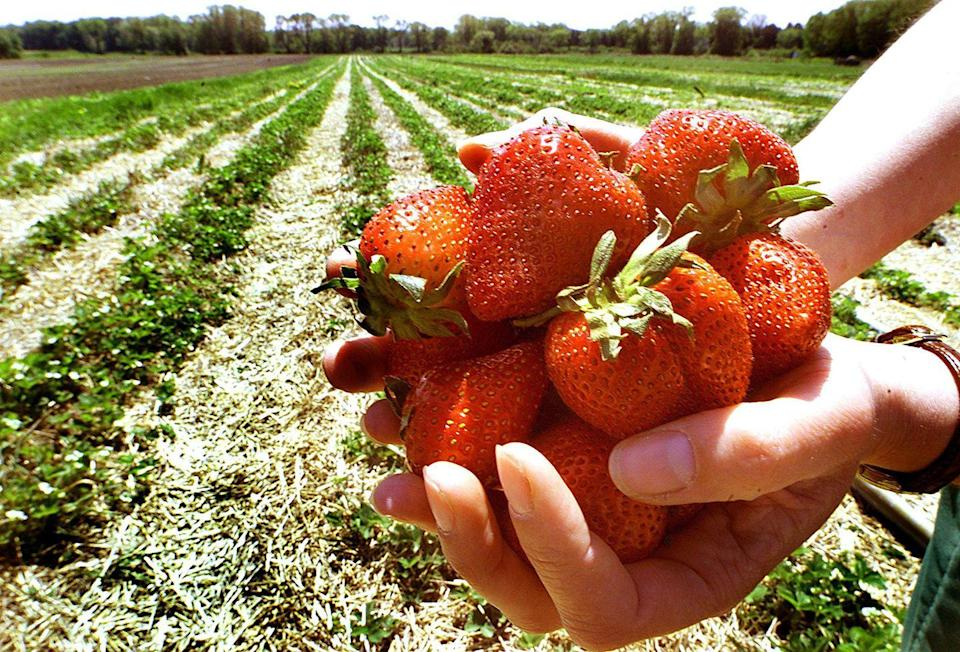"<p>Spring is the ideal time for berry picking, and chances are, there's a <a href=""https://www.countryliving.com/life/travel/a39092/cherry-picking/"" rel=""nofollow noopener"" target=""_blank"" data-ylk=""slk:farm or orchard"" class=""link rapid-noclick-resp"">farm or orchard</a> near you that's open and will let your whole family come out and <a href=""http://www.pickyourown.org/"" rel=""nofollow noopener"" target=""_blank"" data-ylk=""slk:pick your own"" class=""link rapid-noclick-resp"">pick your own</a>. Bring your camera and document all the fun berry-picking memories you'll make!</p>"