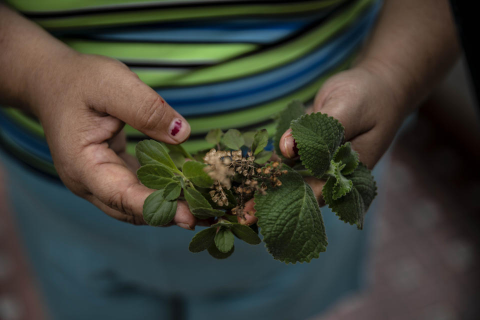 """Yuliet Colon holds a handful of herbs she collected from a small flowerbed that a relative grows on the side of her house, in Havana, Cuba, Friday, April 2, 2021. Shortages and difficult access to food in the midst of a global pandemic and a sharpening of the United States sanctions, Colon tries to make the best of it and help others with ingenious dishes she creates using what little is available at the local market and publishing her recipes on the Facebook page, """"Recipes from the Heart."""" (AP Photo/Ramon Espinosa)"""