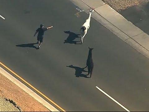 "<p>On the very same day The Dress blew our minds, two <a href=""https://www.azcentral.com/story/news/local/surprise/2015/02/26/sun-city-llamas-on-the-loose-abrk/24068713/"" rel=""nofollow noopener"" target=""_blank"" data-ylk=""slk:llamas escaped in Sun City, Arizona"" class=""link rapid-noclick-resp"">llamas escaped in Sun City, Arizona</a> and provided equal intrigue. What a blessed 24 hours.</p><p><a href=""https://www.youtube.com/watch?v=o80xuYHxEFY"" rel=""nofollow noopener"" target=""_blank"" data-ylk=""slk:See the original post on Youtube"" class=""link rapid-noclick-resp"">See the original post on Youtube</a></p>"