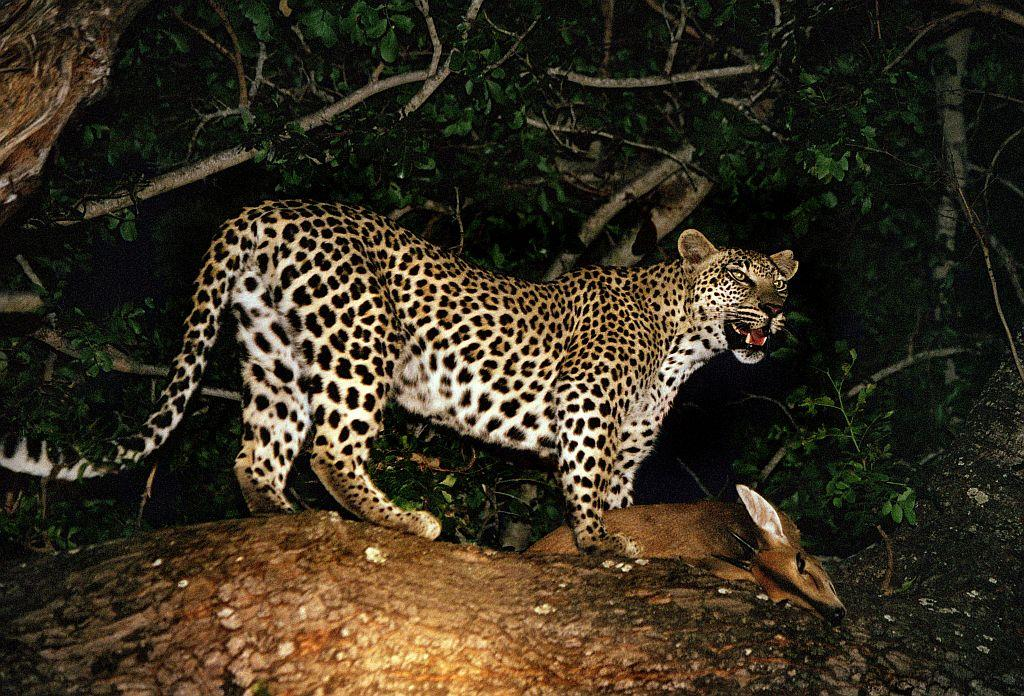 A female leopard in the branches of a tree with a freshly killed antelope in Kruger National Park.