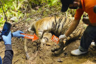 Investigators examine the carcass of one of three Sumatran tigers found dead in Ie Buboh village in South Aceh, Indonesia, Thursday, Aug. 26, 2021. A critically endangered Sumatran tiger and its two cubs were found dead in a conservation area on Sumatra island after being caught in boar traps, in the latest setback to a species whose numbers are estimate to have dwindled to about 400 individuals, authorities said Friday, Aug. 27, 2021. (AP Photo/Tuah Albanna)