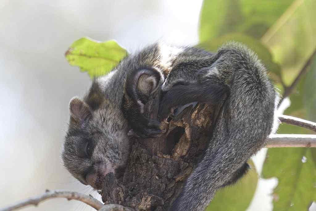"Juvenile Flying Squirrel at Kanha National Park By <a target=""_blank"" href=""http://www.flickr.com/photos/naveen_kumar_reddy/"">Ganugapenta NaveenKumar Reddy</a>"