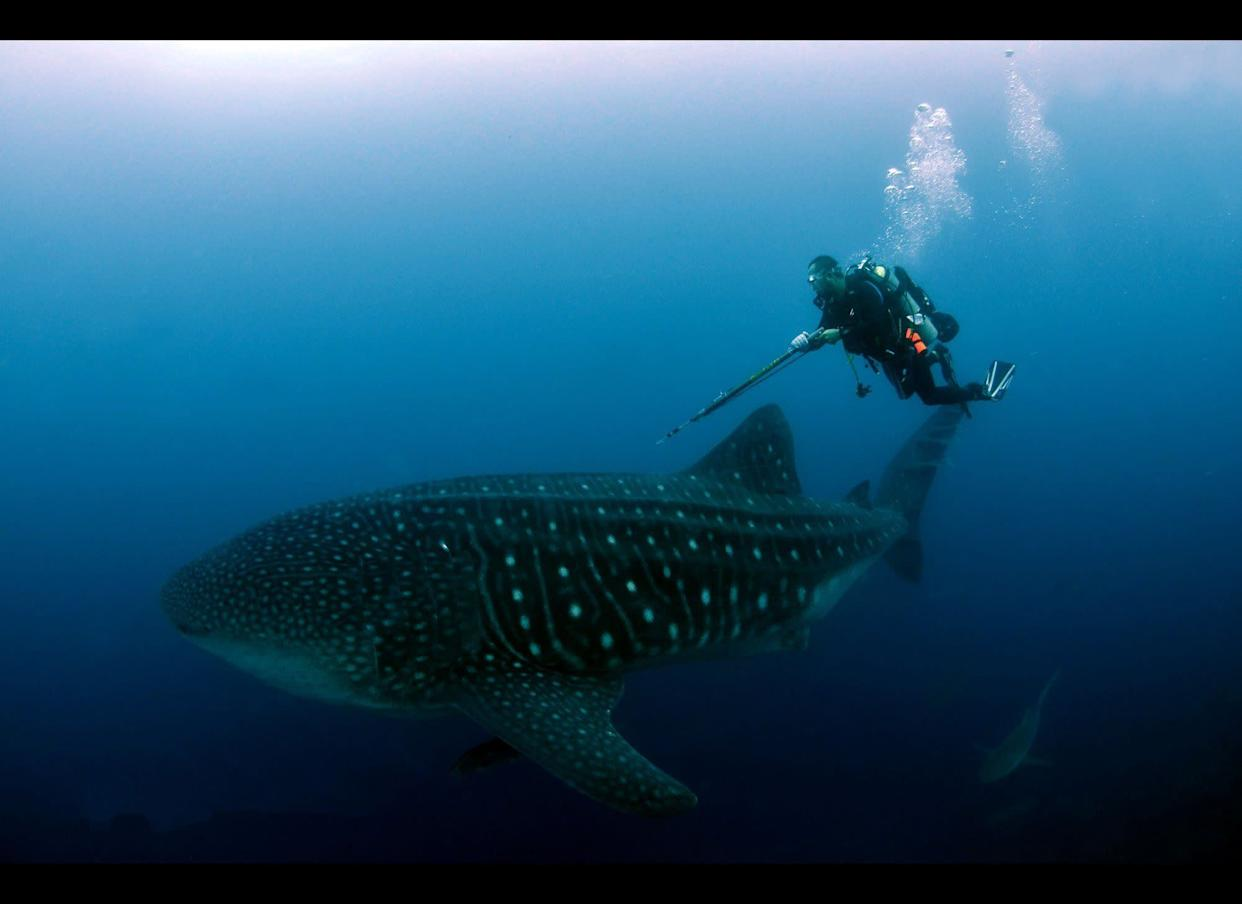 This undated photo released by The Galapagos National Park of Ecuador shows a diver alongside a whale shark in the Galapagos Island, Ecuador.