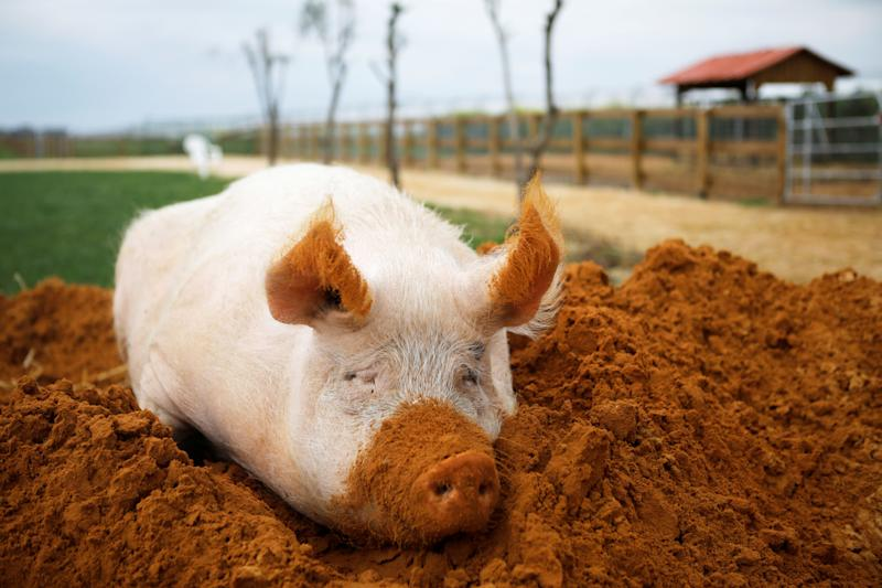 """A pig named Yossi, sits in soil at """"Freedom Farm"""" which serves as a refuge for mostly disabled animals in Moshav Olesh, Israel. (Photo: Nir Elias/Reuters)"""