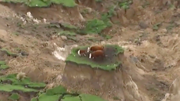 Cows stuck on wee plateau after New Zealand earthquakes ...