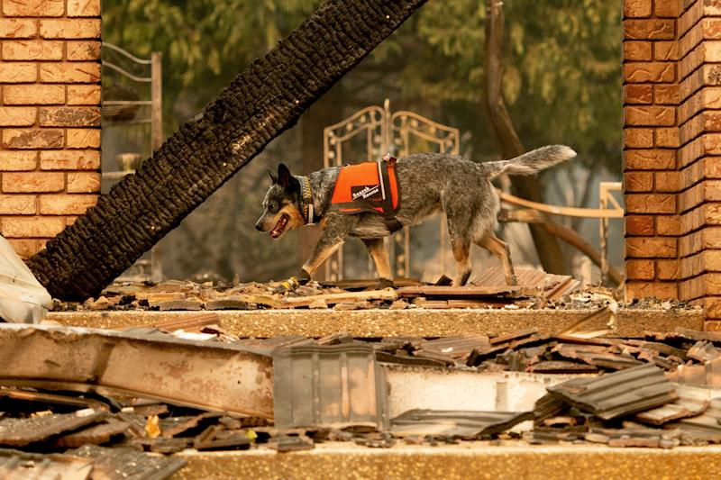 A dog searches for victims of the Camp fire in Paradise, California, on Nov. 15, 2018. (Photo: AP Photo/Noah Berger)
