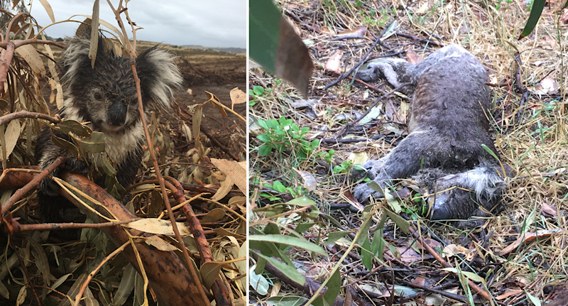 Split screen. Left - a wet koala sits in a pile of branches with a bare field behind it. Right - a dead koala on the ground.