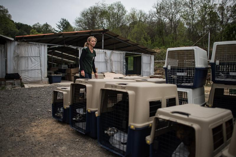 Lola Webber of Humane Society International transport dogs in crates during the closure of a dog meat farm in Wonju (AFP Photo/Ed Jones)