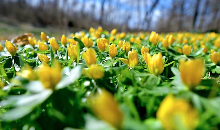 Yellow crocus flowers sprout near a walking trail at the Tayamentasachta Center for Environmental Studies in Greencastle, Pa., Thursday, Feb. 27, 2020.