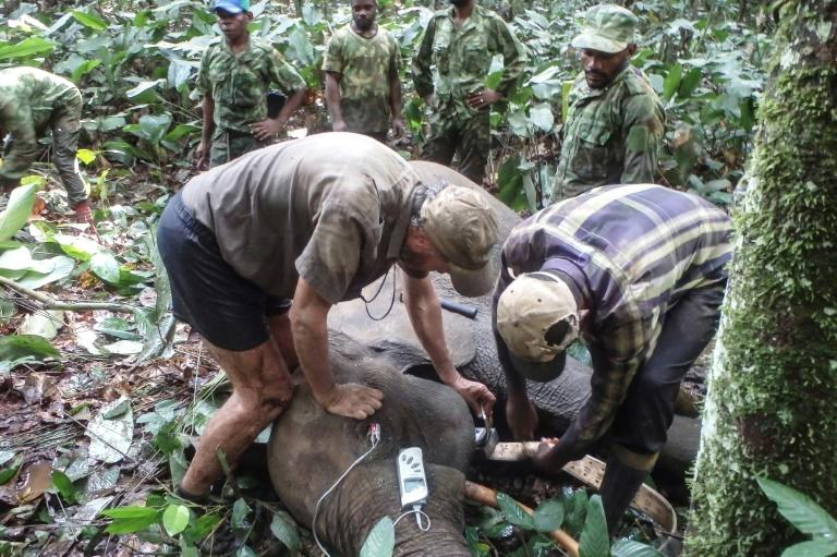 The authorities are waging virtual war on the lucrative ivory trade and the poachers who come from neighbouring Cameroon and Congo, driving deep into Gabon in militarised columns with shooters, trackers and porters