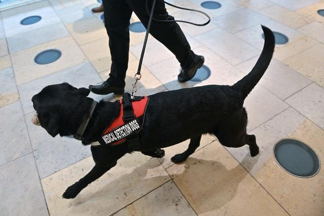 A dog is put through its paces during the demonstration to detect Covid-19. Justin Tallis/PA Wire