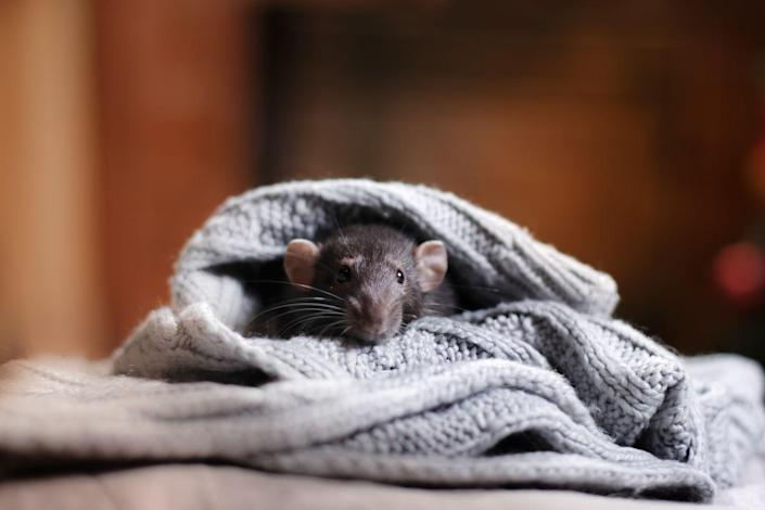 """<p>Cold temperatures means mice, rats, birds, raccoons, and stinkbugs could be trying to take shelter in your home. Take the time to pest-proof your home by sealing up any potential entryways. """"Mice and rats will build a nest out of your insulation, chew through wires creating fire hazards, and litter your home,"""" says Wesley Wheeler, a <a href=""""https://buglord.com/"""" rel=""""nofollow noopener"""" target=""""_blank"""" data-ylk=""""slk:pest control professional"""" class=""""link rapid-noclick-resp"""">pest control professional</a>. Birds can make a nest in your attic, while raccoons carry roundworms. Make sure to store food items properly and take the garbage out regularly to avoid pests.</p>"""