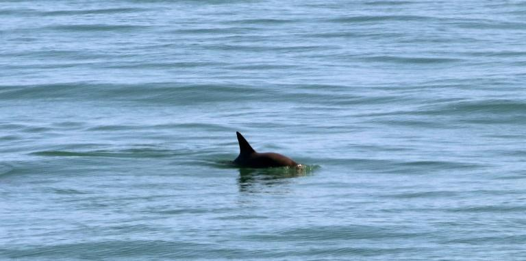Conservationists believe there are only 10 vaquita porpoises left alive