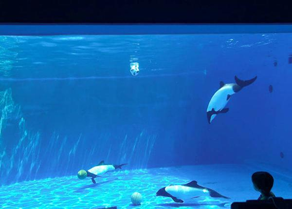▲ The two-toned black and white small dolphins, also called panda dolphins, and are in the America area. These can only be seen in two aquariums in Japan. Depending on the time they also give performances.