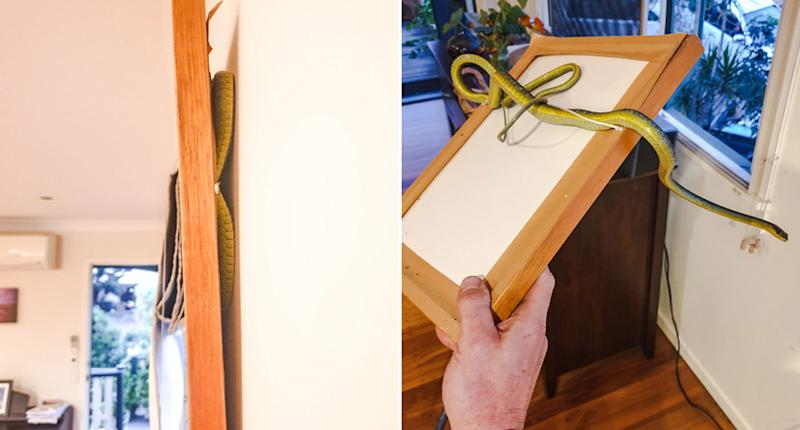A green tree snake trapped behind a picture frame at a home at The Gap.