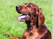 <h2>Irish Setter</h2> <p>With their glossy coat and kind eyes, these high-energy dogs behave best when surrounded by loved ones. They're also great with new people (meaning they'll be friendly at the park and on play dates).</p>