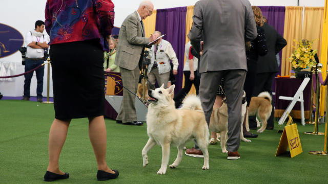 Ghost, a Norwegian buhund, competes at the Westminster Kennel Club dog show in New York on Sunday, Feb. 9, 2020. Ghost is also a therapy dog that makes weekly visits to a Delaware hospital with his owner, Patricia Faye Adcox. (AP Photo/Jennifer Peltz)