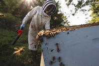 Beekeeper James Cook works on hives near Iola, Wis., on Wednesday, Sept. 23, 2020. Cook and his wife, Samantha Jones, have worked with honey bees for several years but started their own business this year — and proceeded with plans even after the coronavirus pandemic hit. (AP Photo/Carrie Antlfinger)